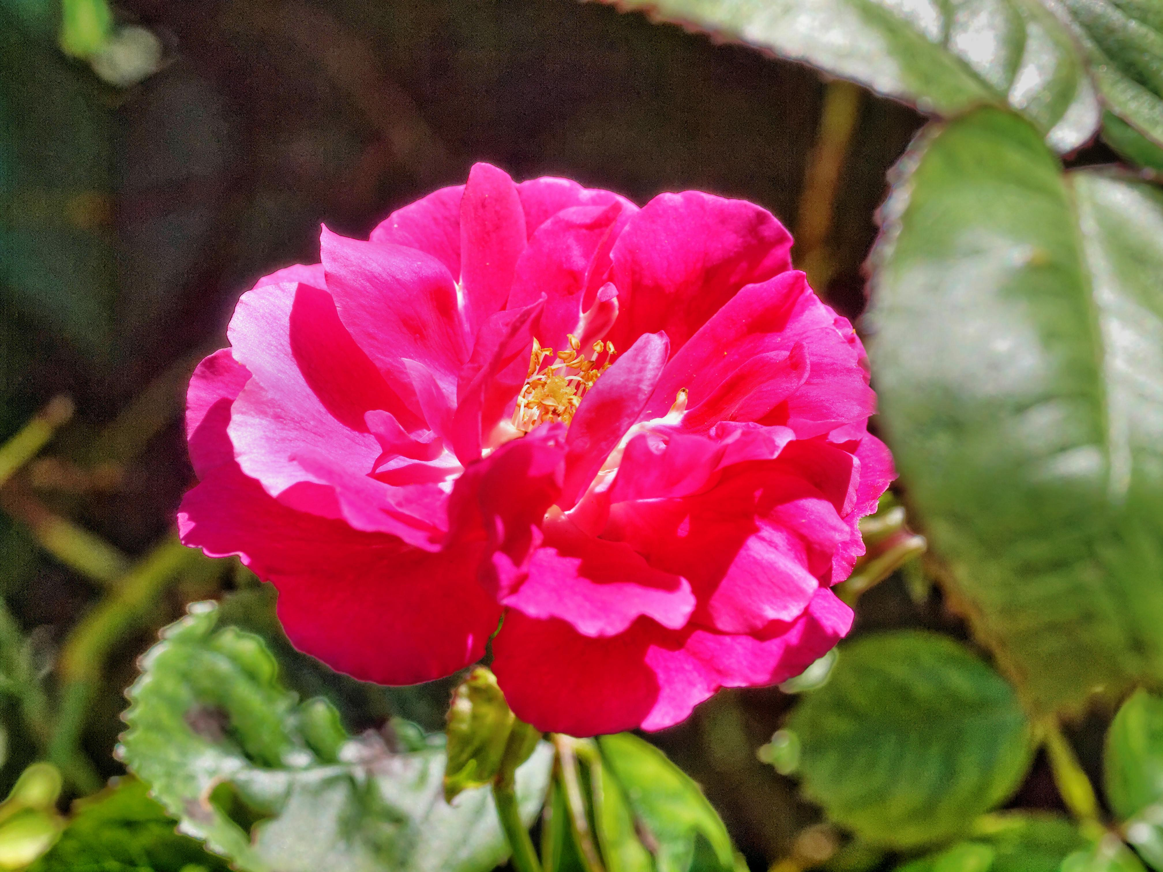 Rosa-1.jpeg