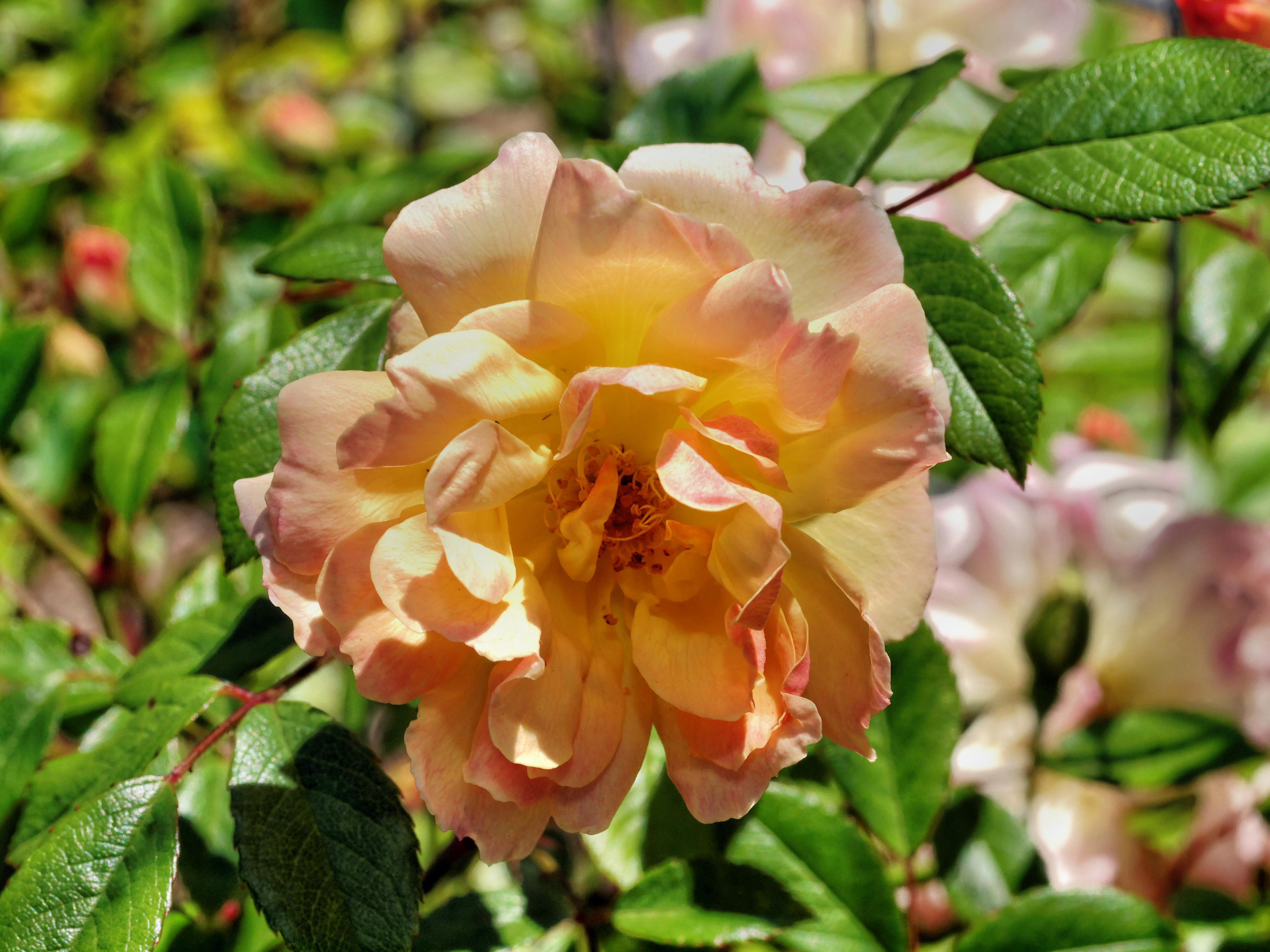 Rosa-Phyllis-Bide-1.jpeg