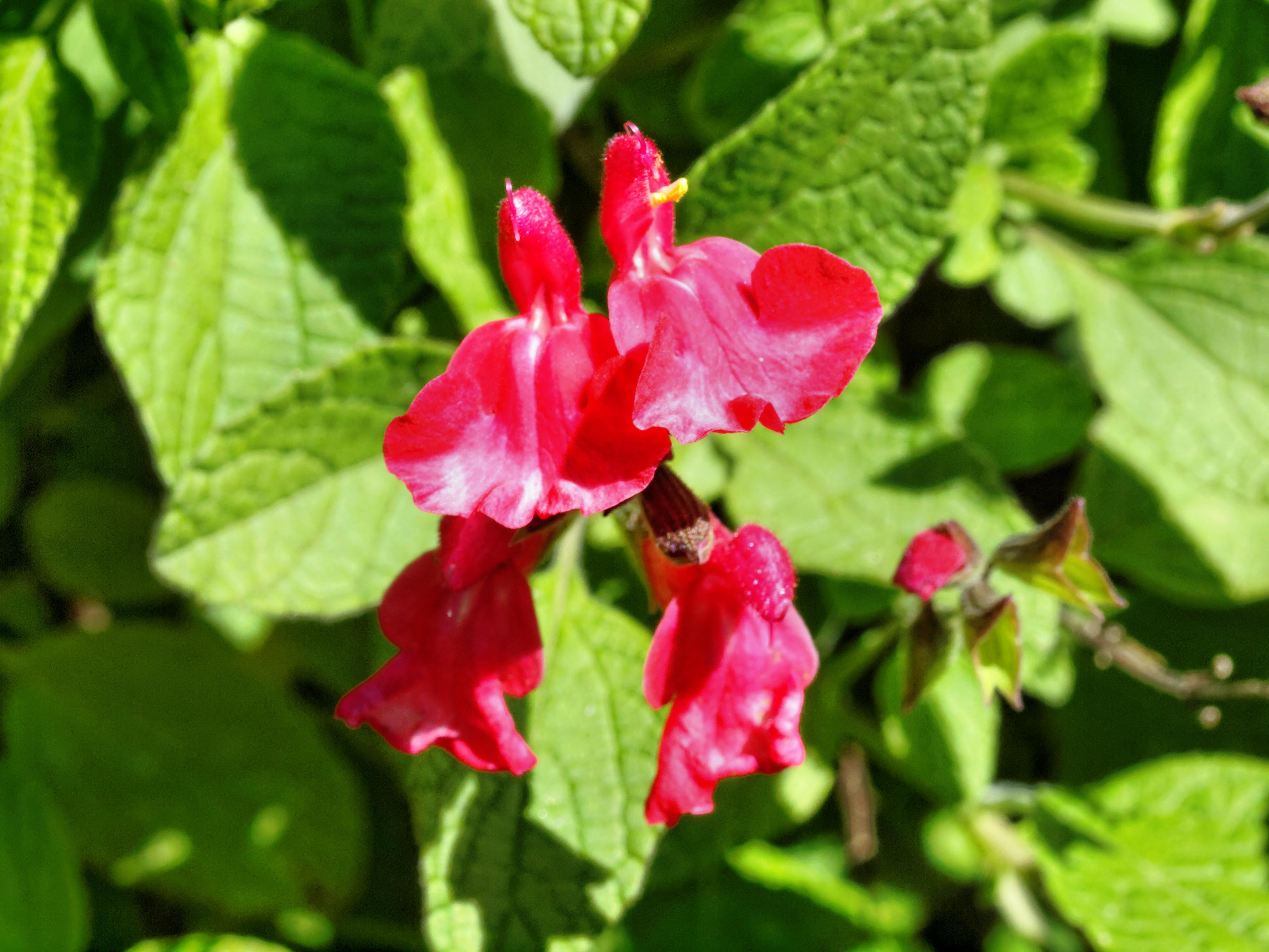 Salvia-microphylla.jpeg