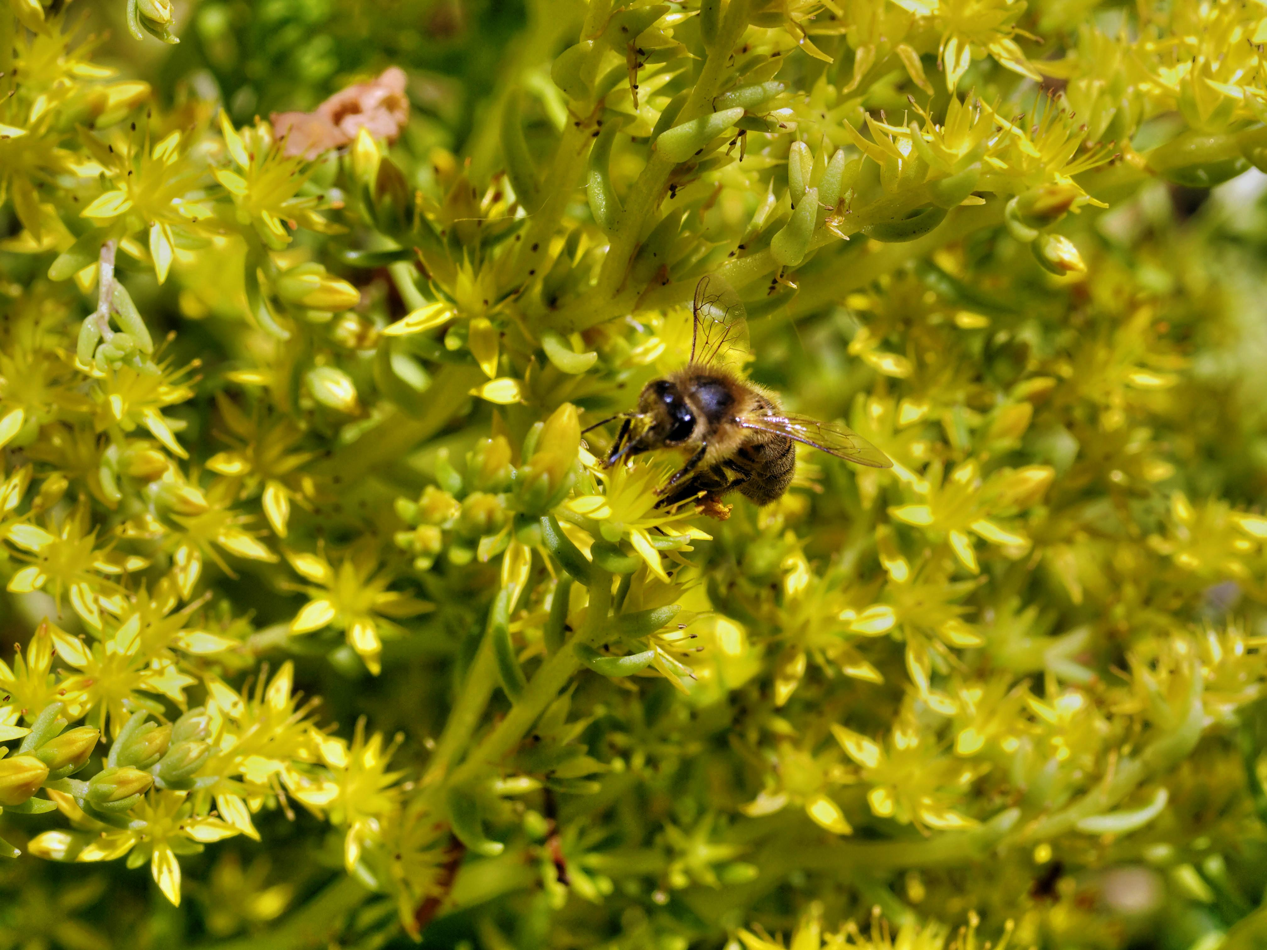 Sedum-gold-mound-1.jpeg