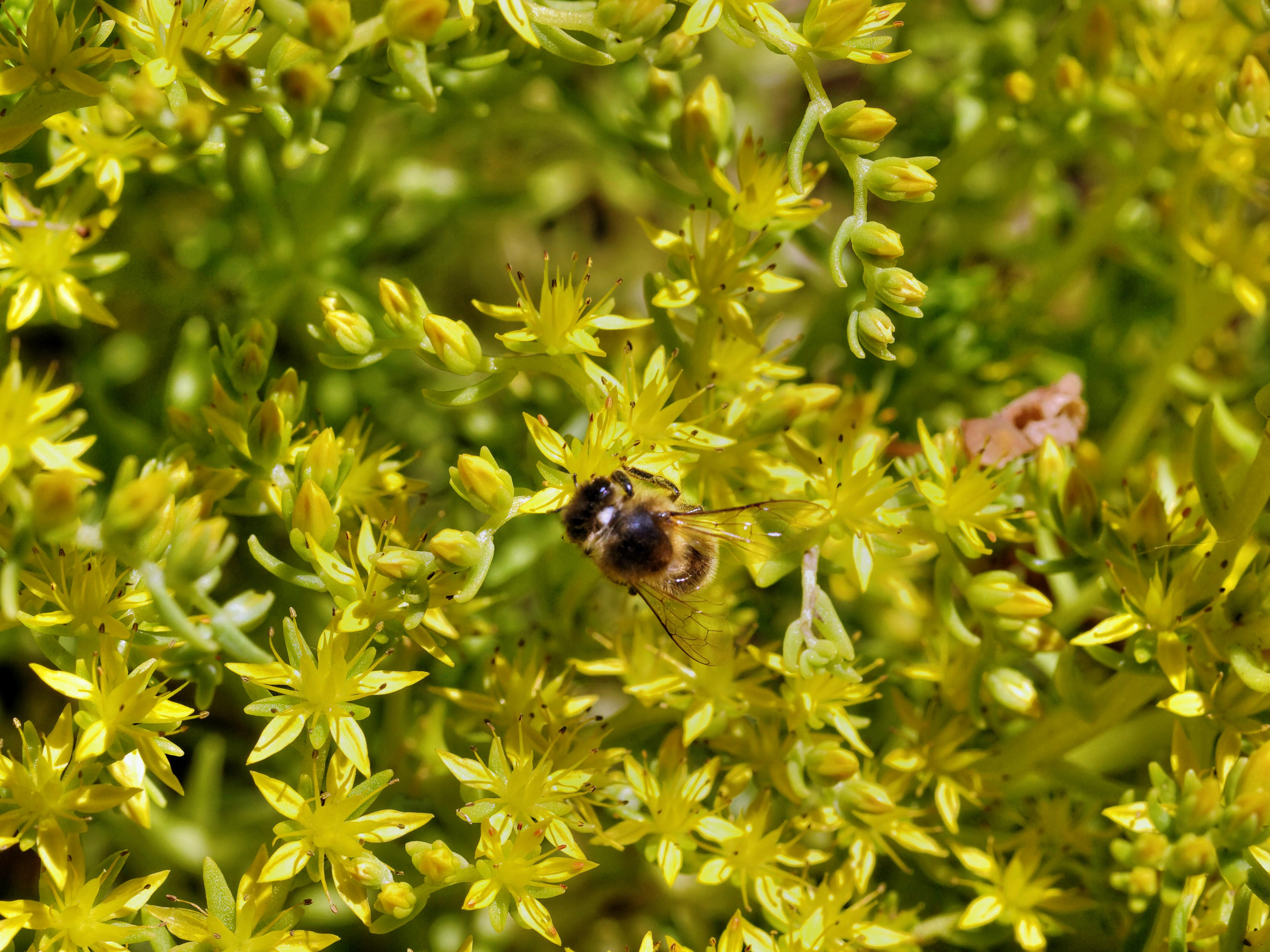 Sedum-gold-mound-2.jpeg