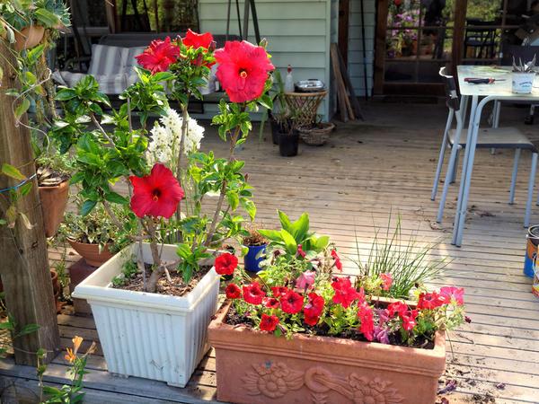 Hibiscus-Petunias.jpeg