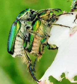 Beetles-1-detail.jpeg