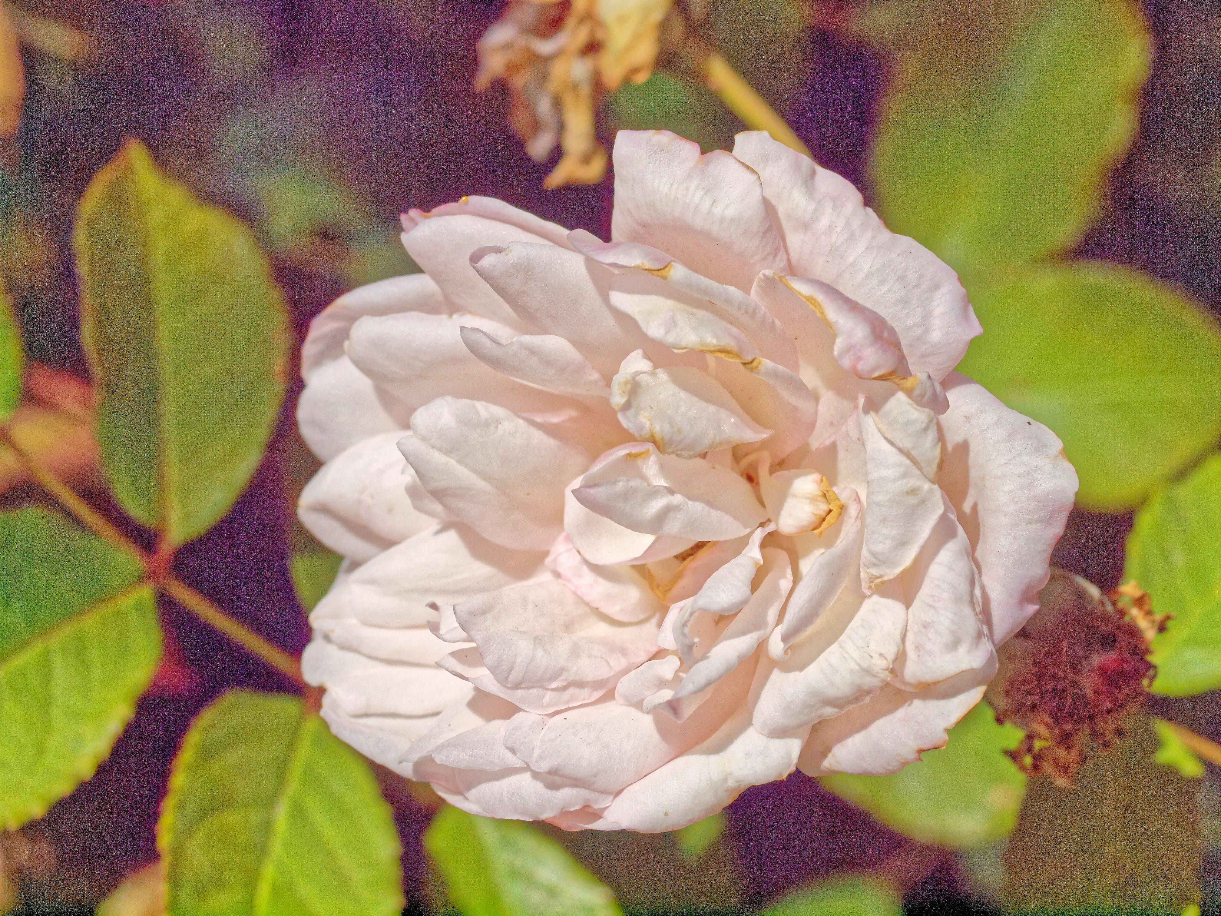 Rosa-Gruss-an-Aachen-1.jpeg