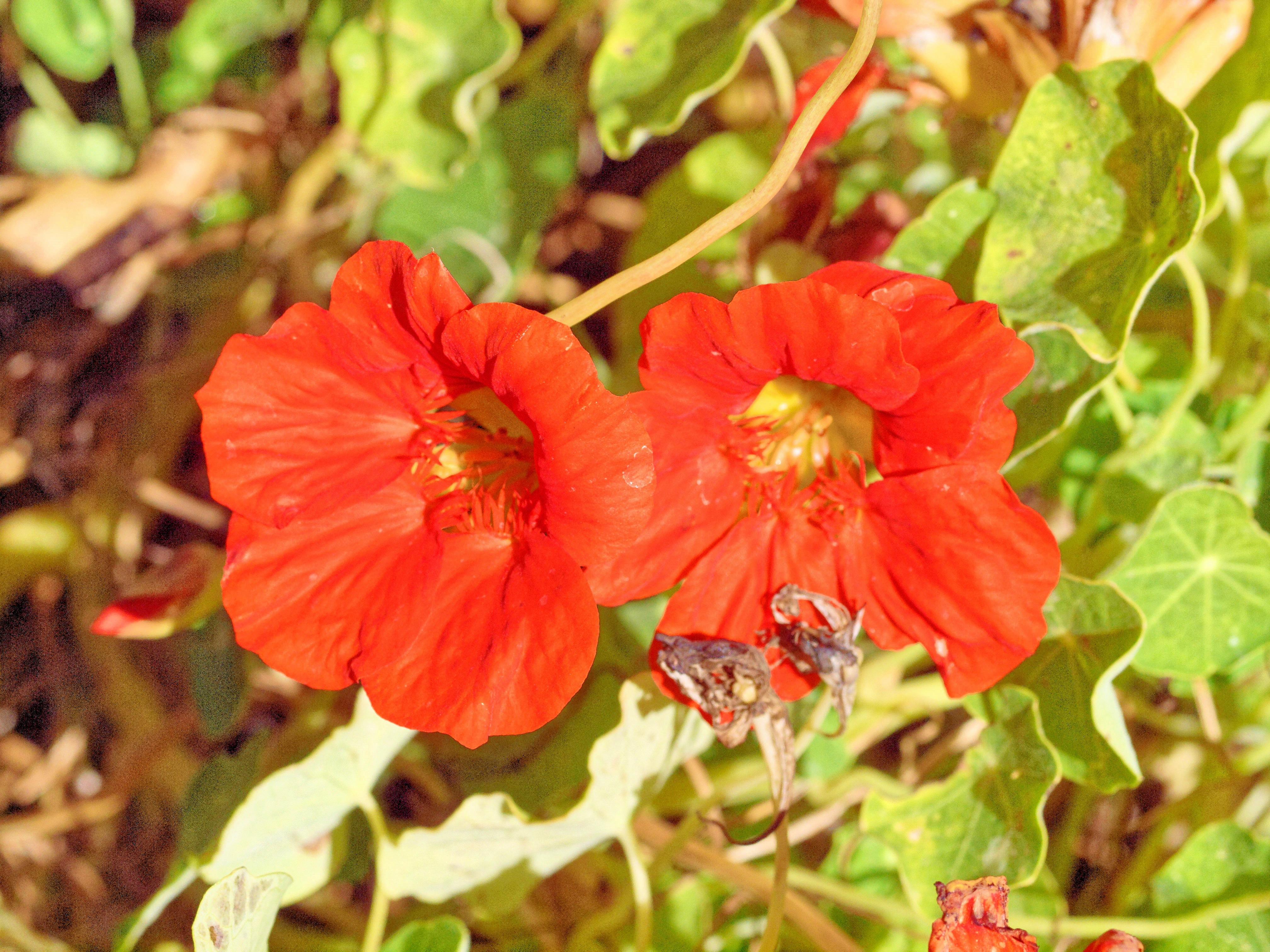 Trachelospermum.jpeg