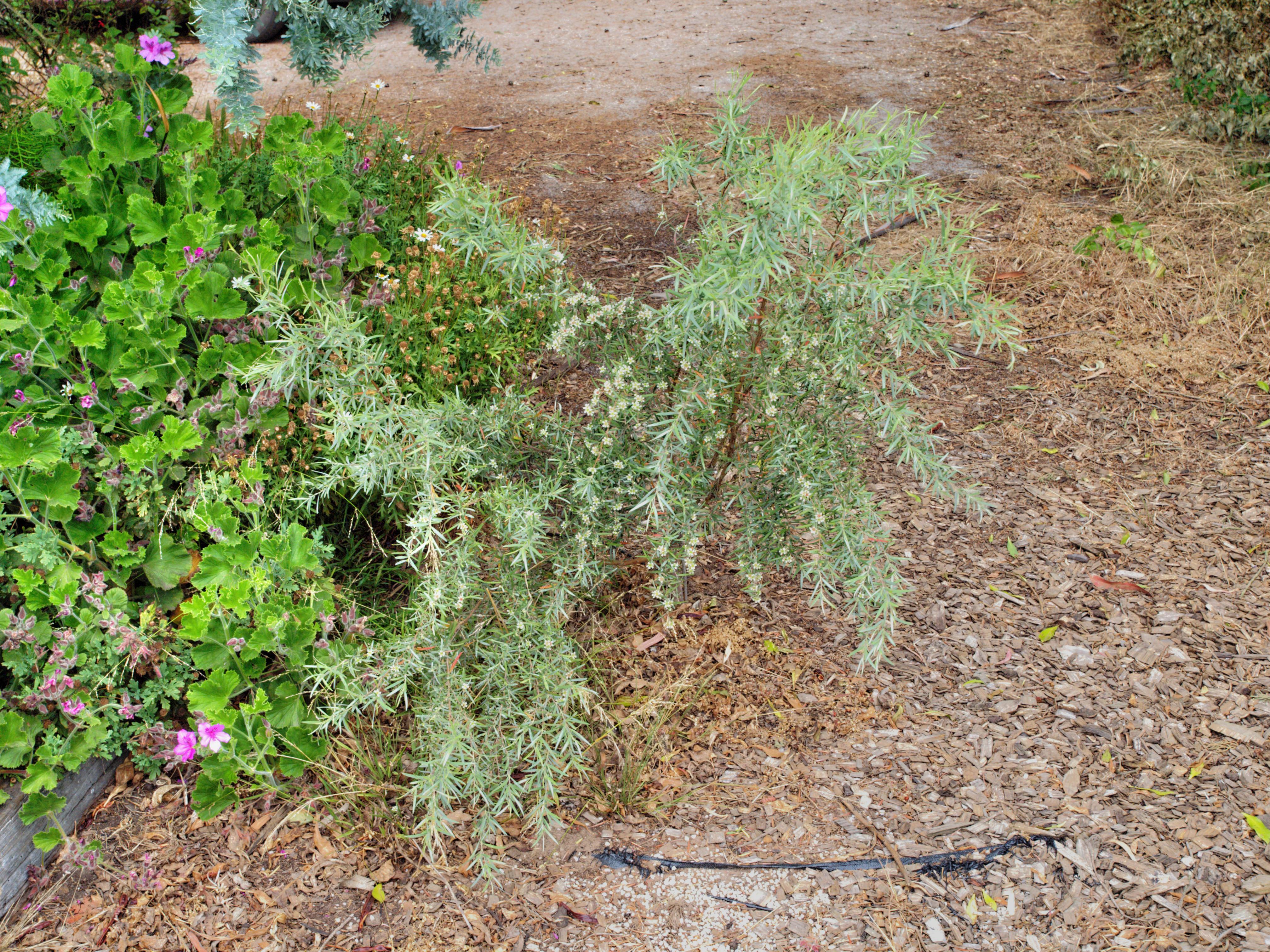 Leptospermum-brachyandrum-2.jpeg