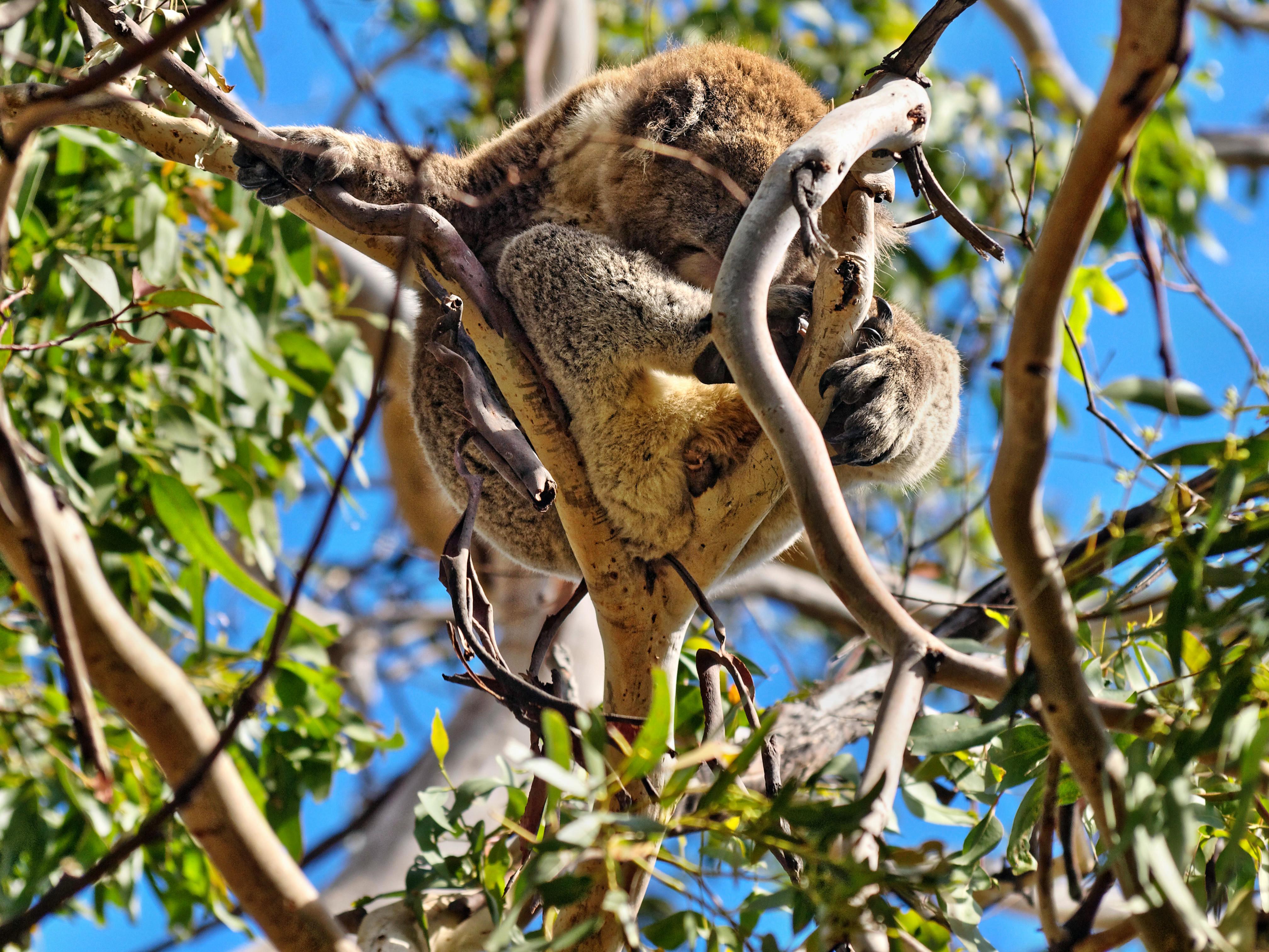 Koalas-2.jpeg
