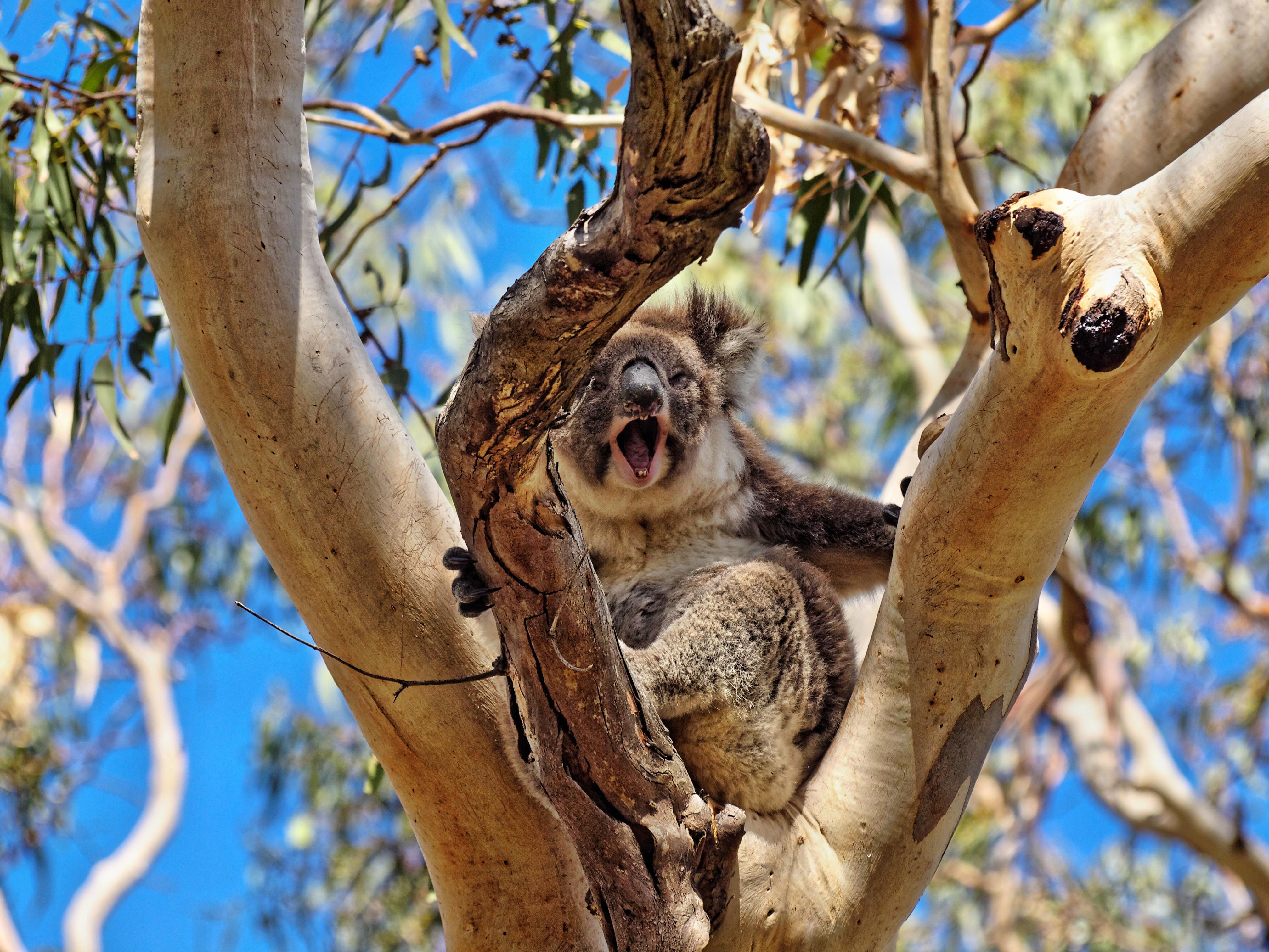 Koalas-6.jpeg