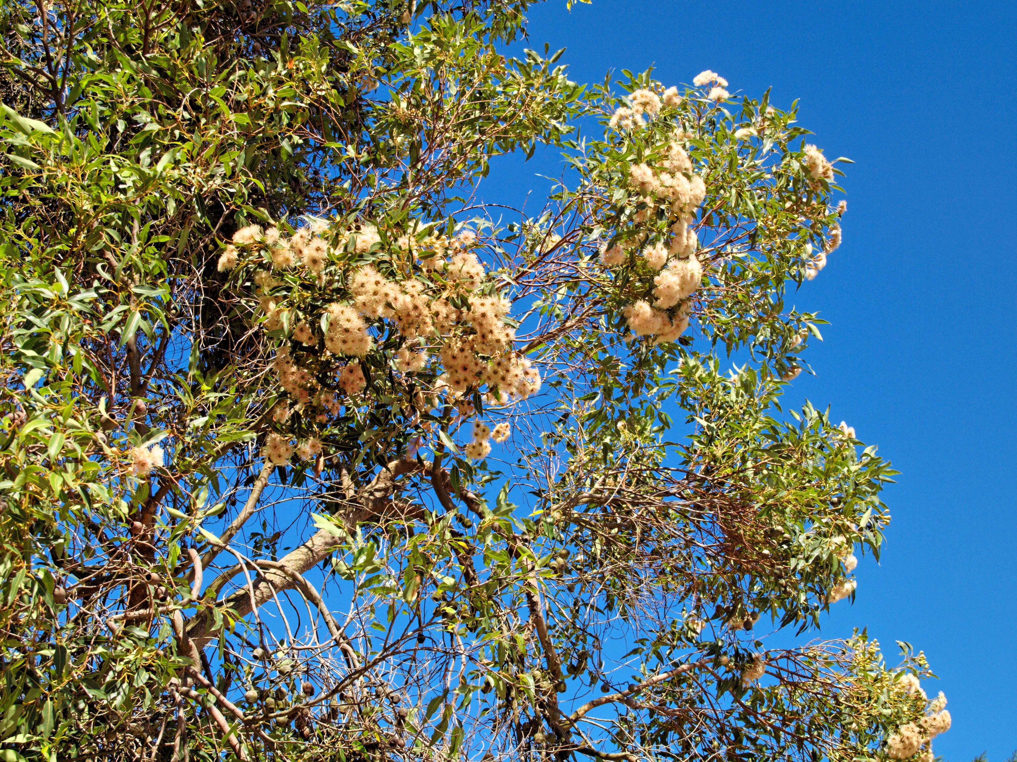 Eucalypt-flower-2.jpeg