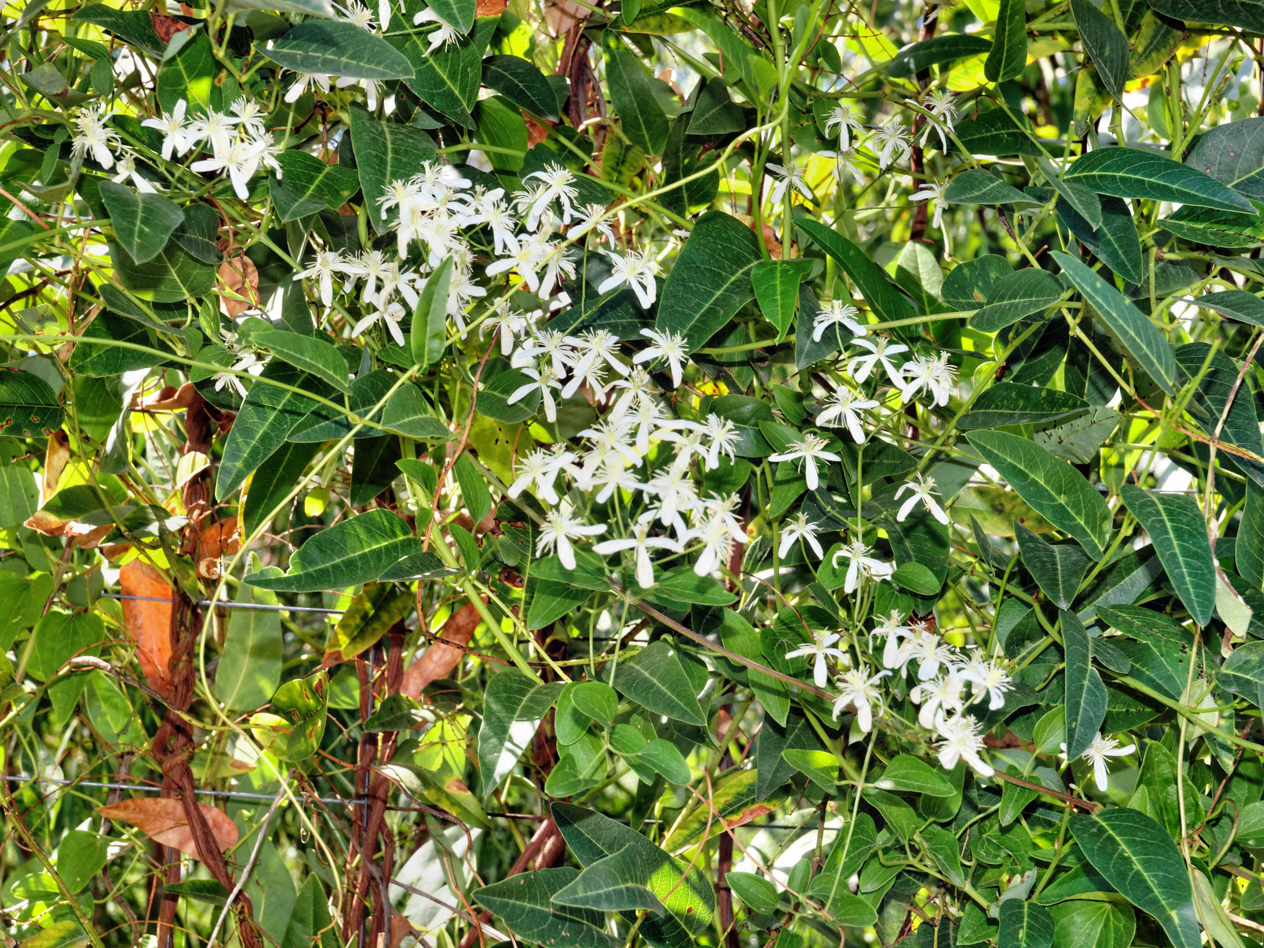 Clematis-maximowicziana.jpeg