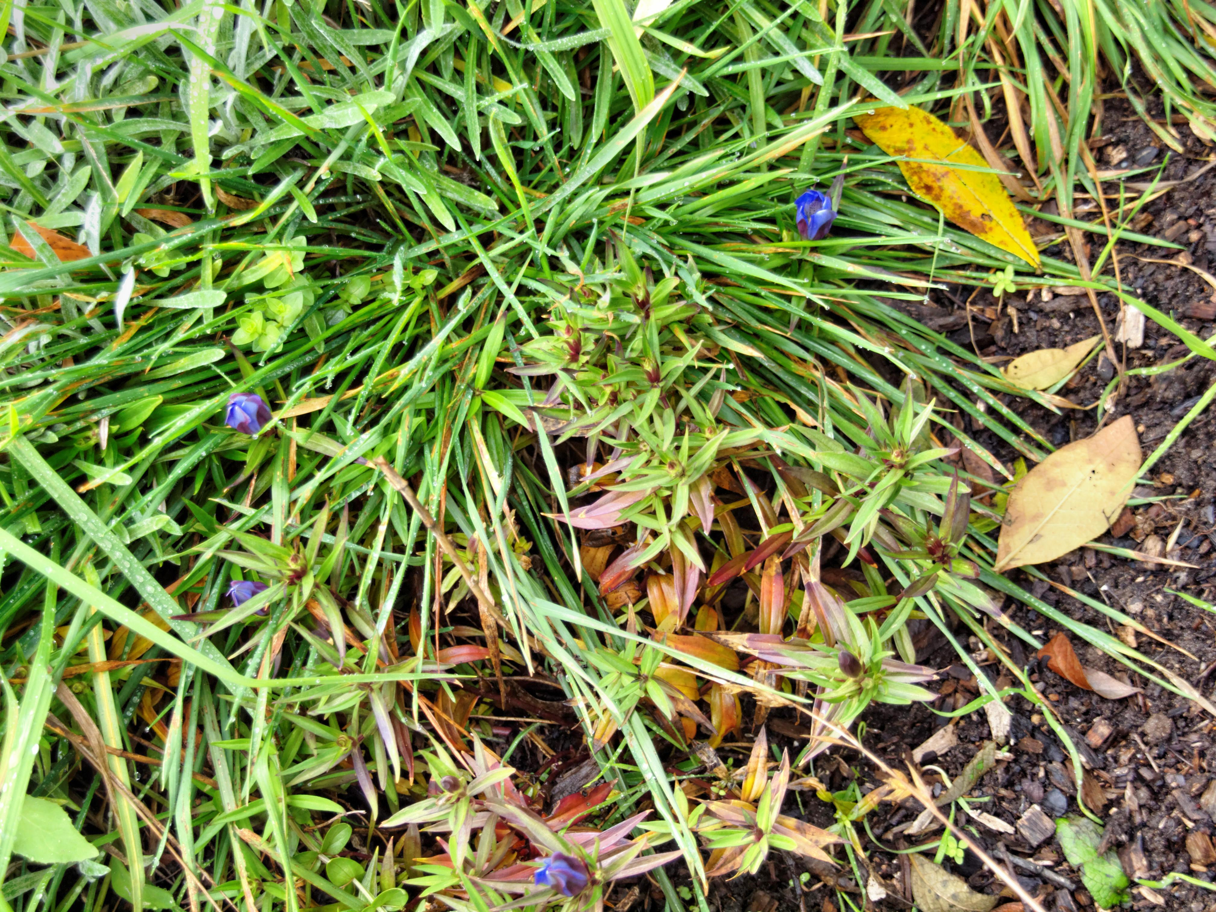 This should be Gentian.jpeg.  Is it missing?
