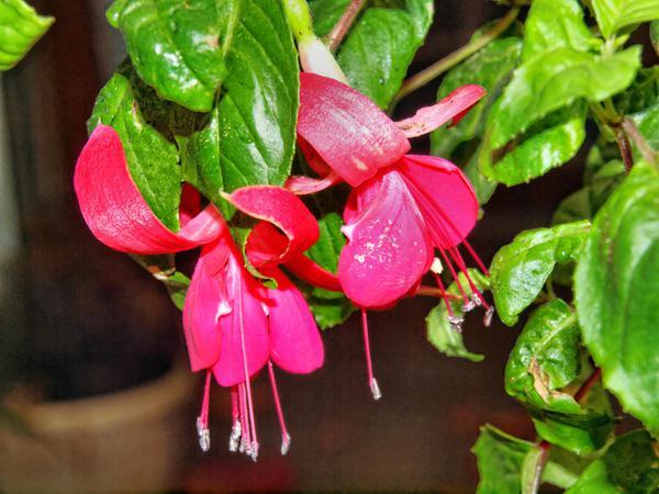 Fuchsia-4.jpeg