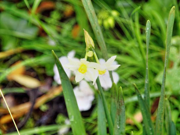 Narcissus-1.jpeg