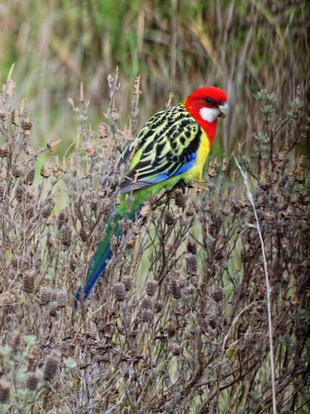 Rosellas-6.jpeg