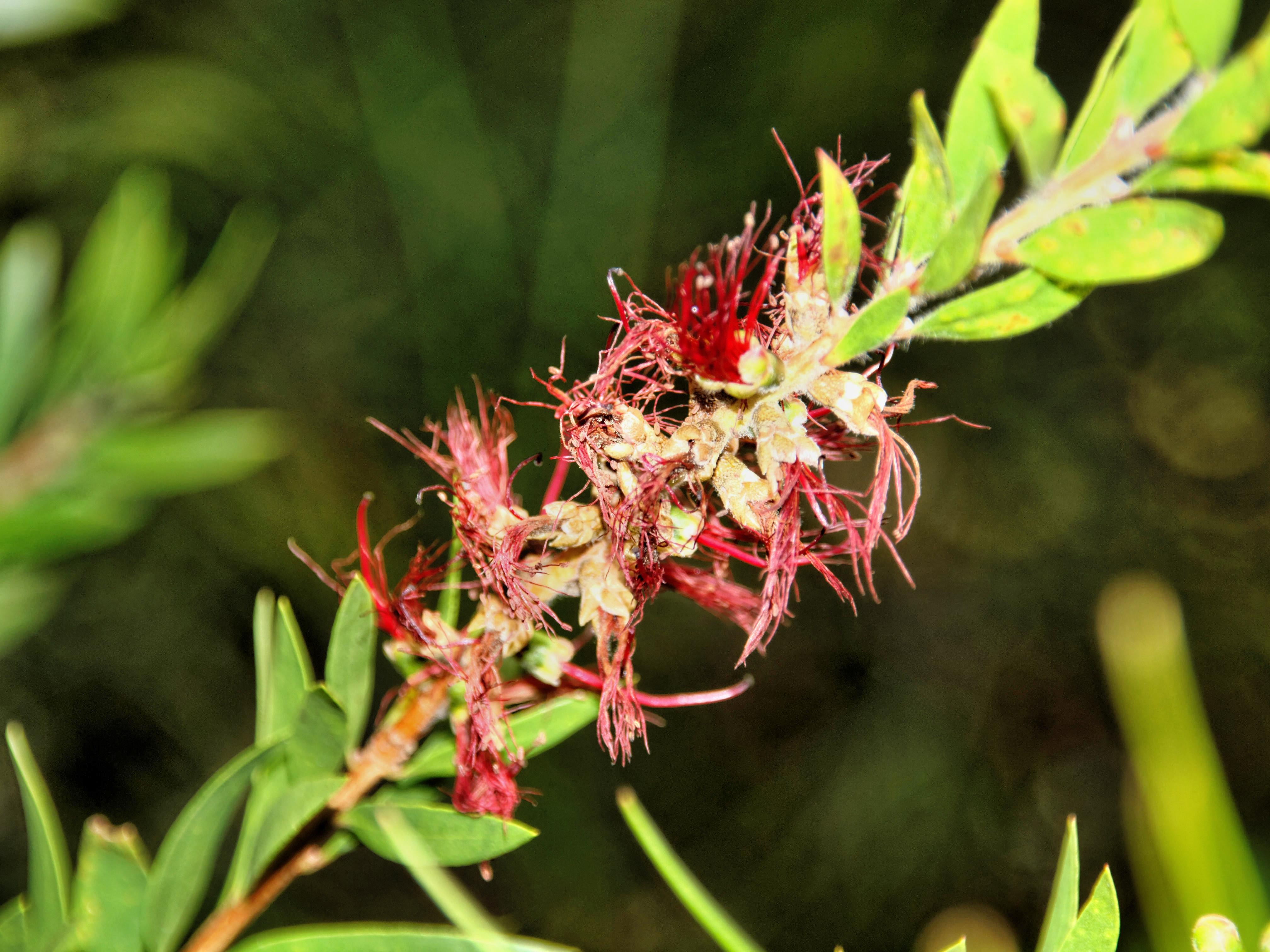 This should be Callistemon.jpeg.  Is it missing?