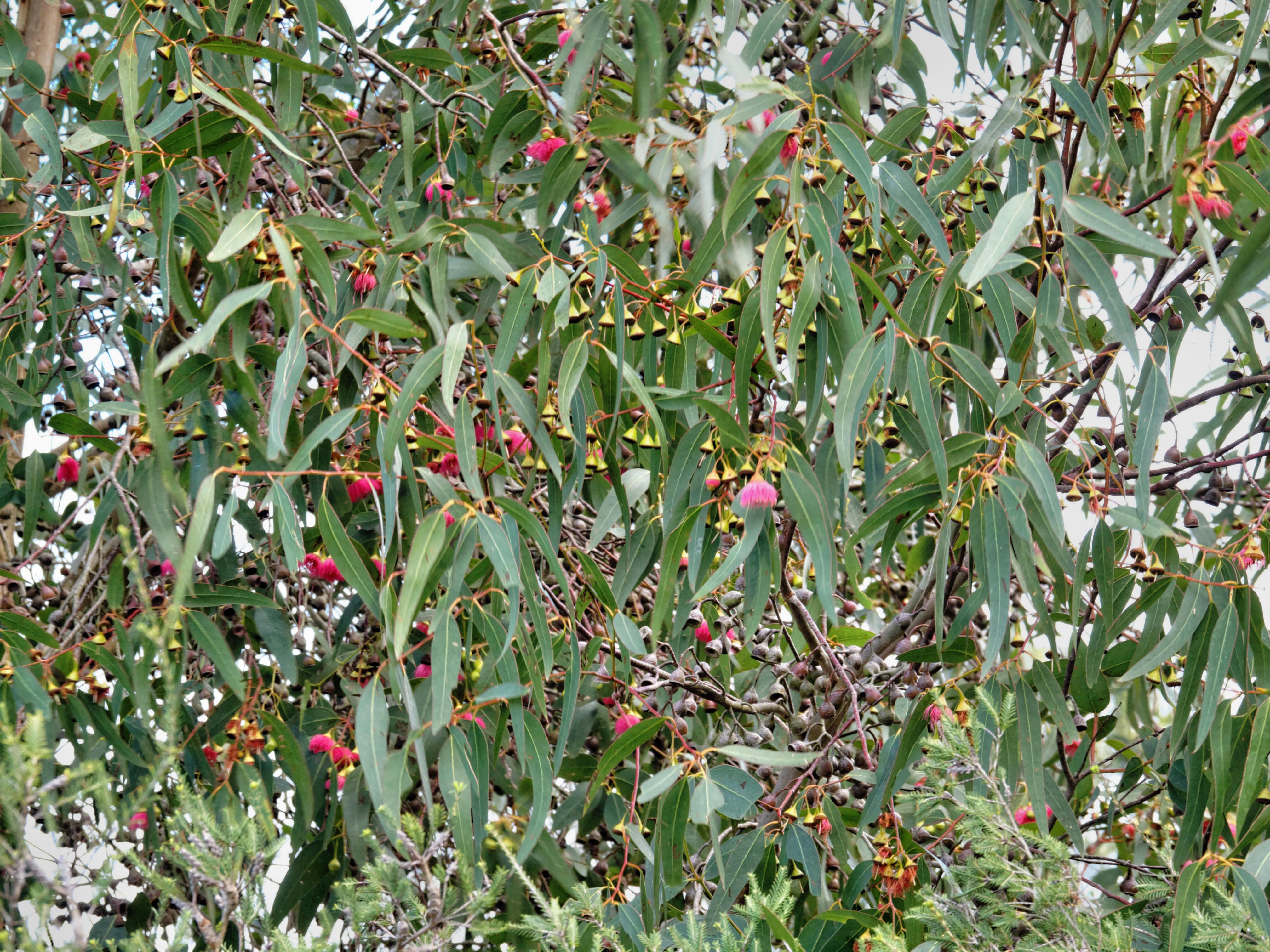 Eucalyptus-4.jpeg