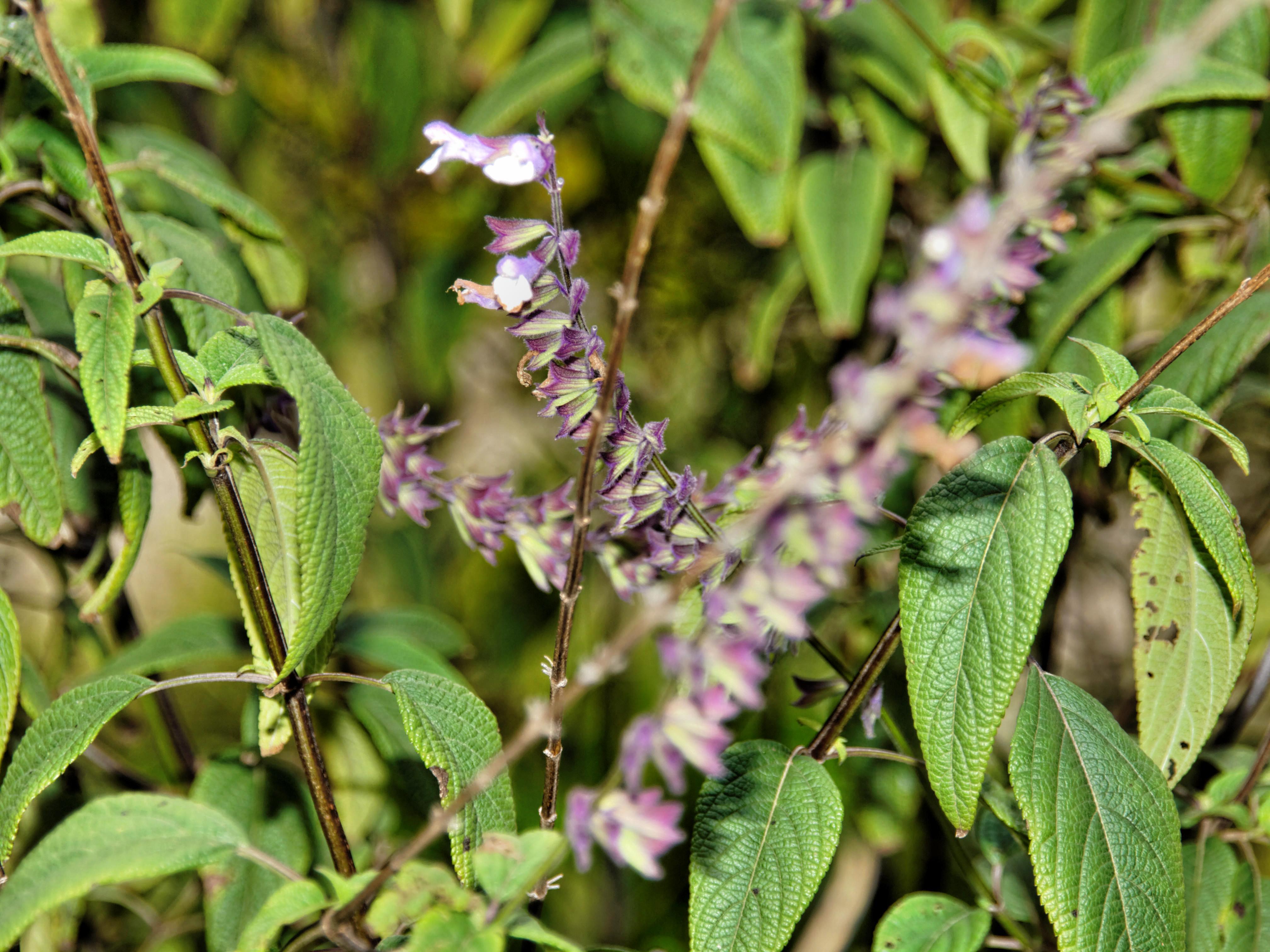 Salvia-2.jpeg