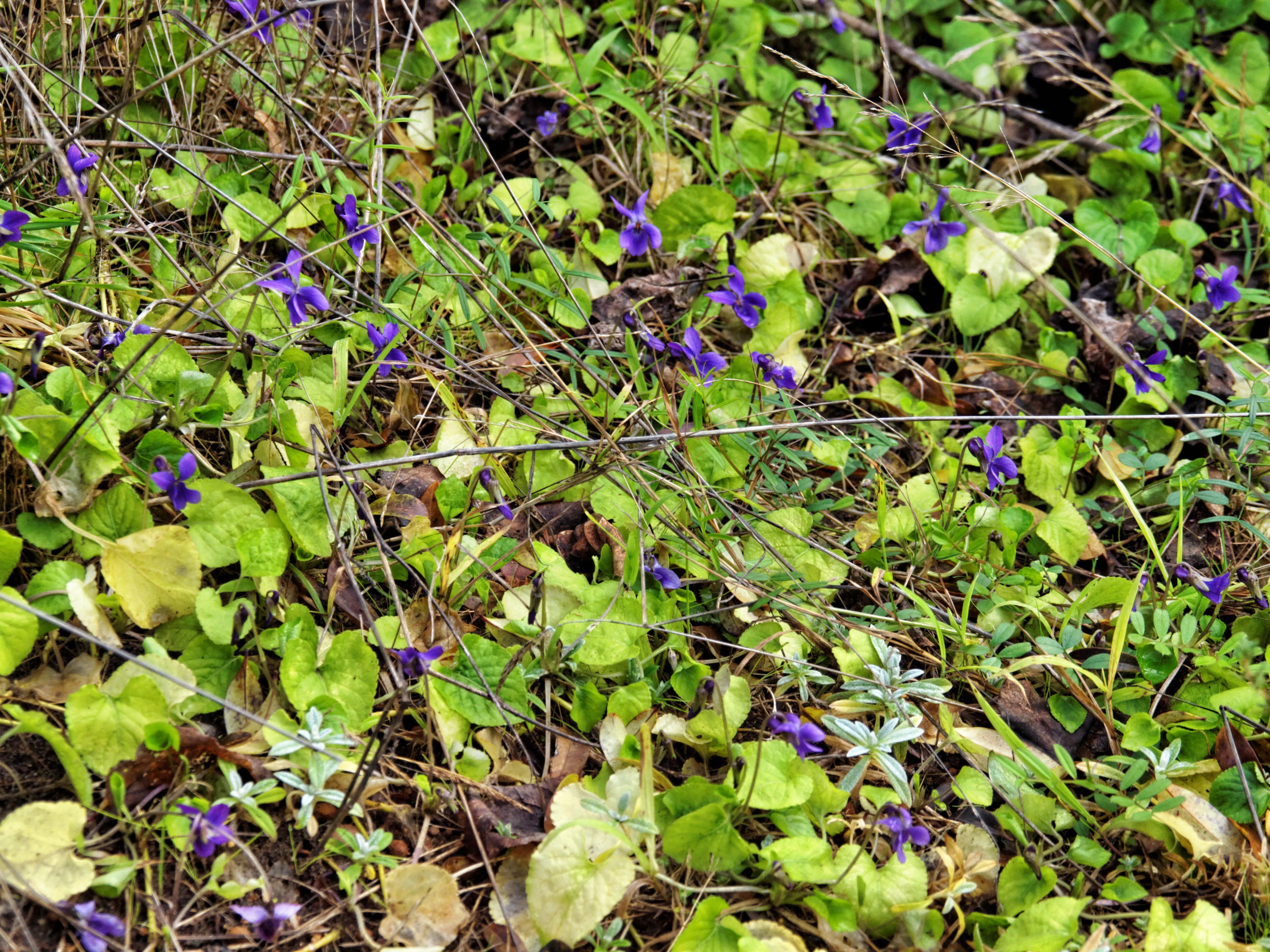 Violets-3.jpeg