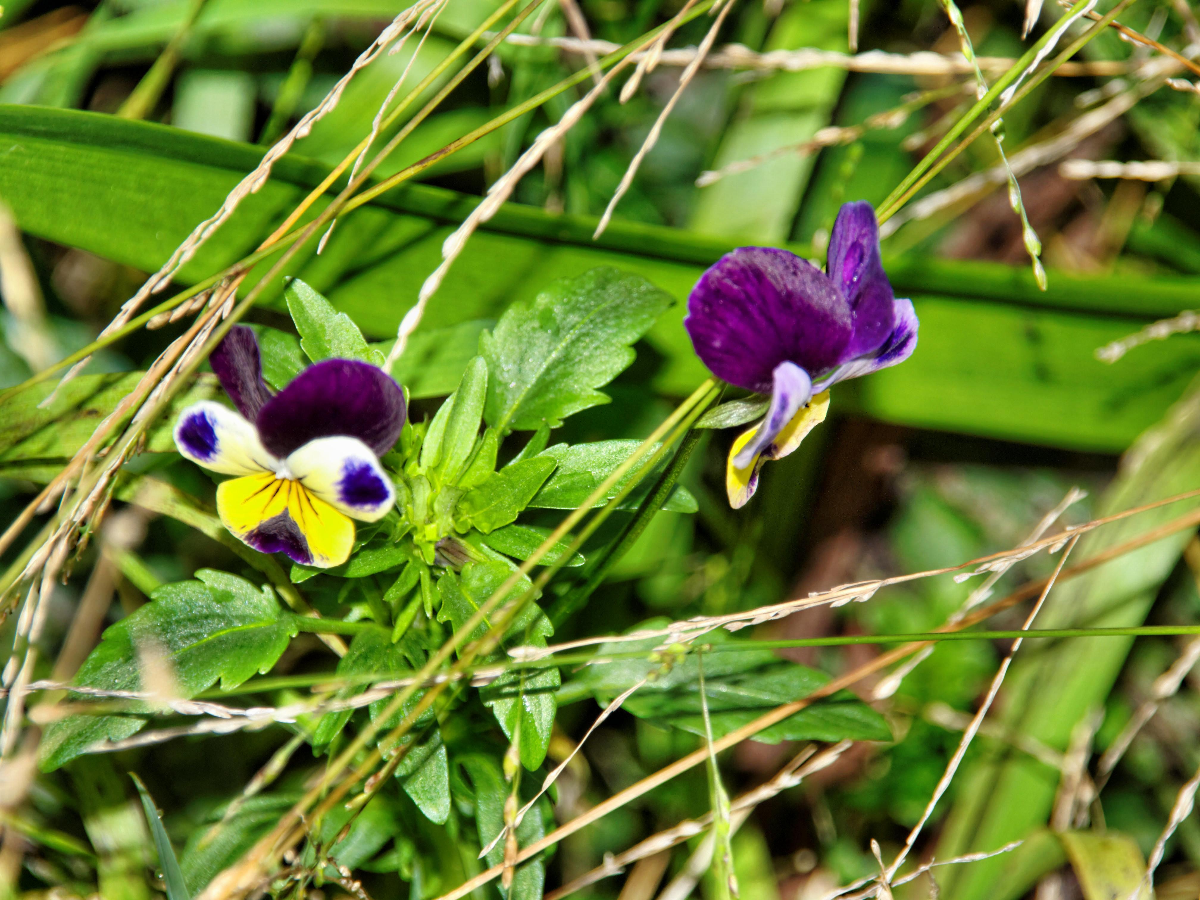 Violets-4.jpeg