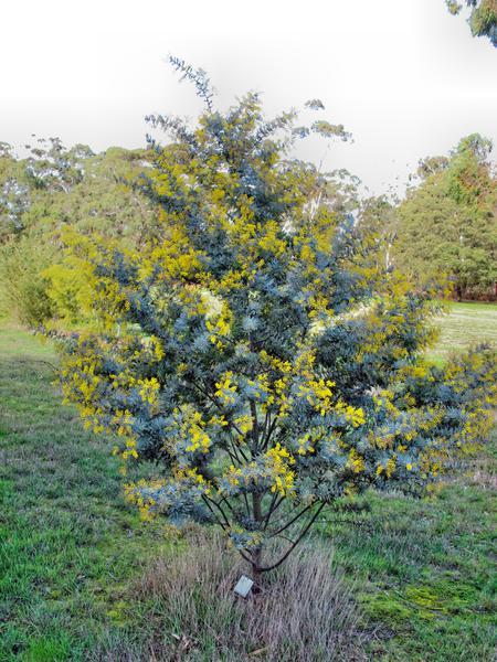 Acacia-5.jpeg