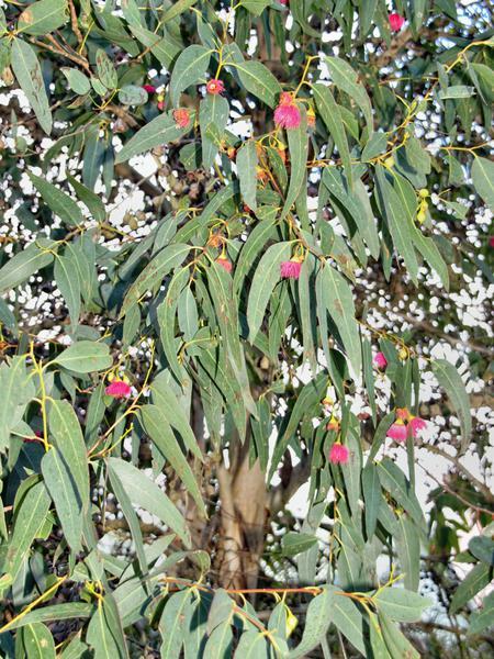 Eucalyptus-2.jpeg
