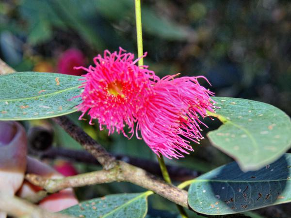 Eucalyptus-3.jpeg