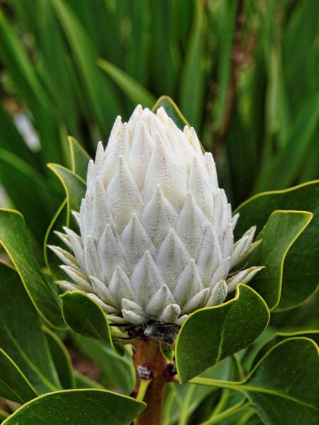 Protea.jpeg