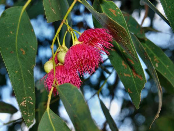 Eucalyptus-1.jpeg