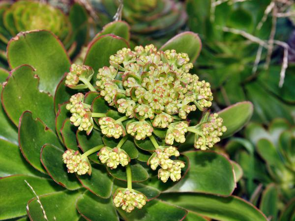 Succulent-buds-1.jpeg