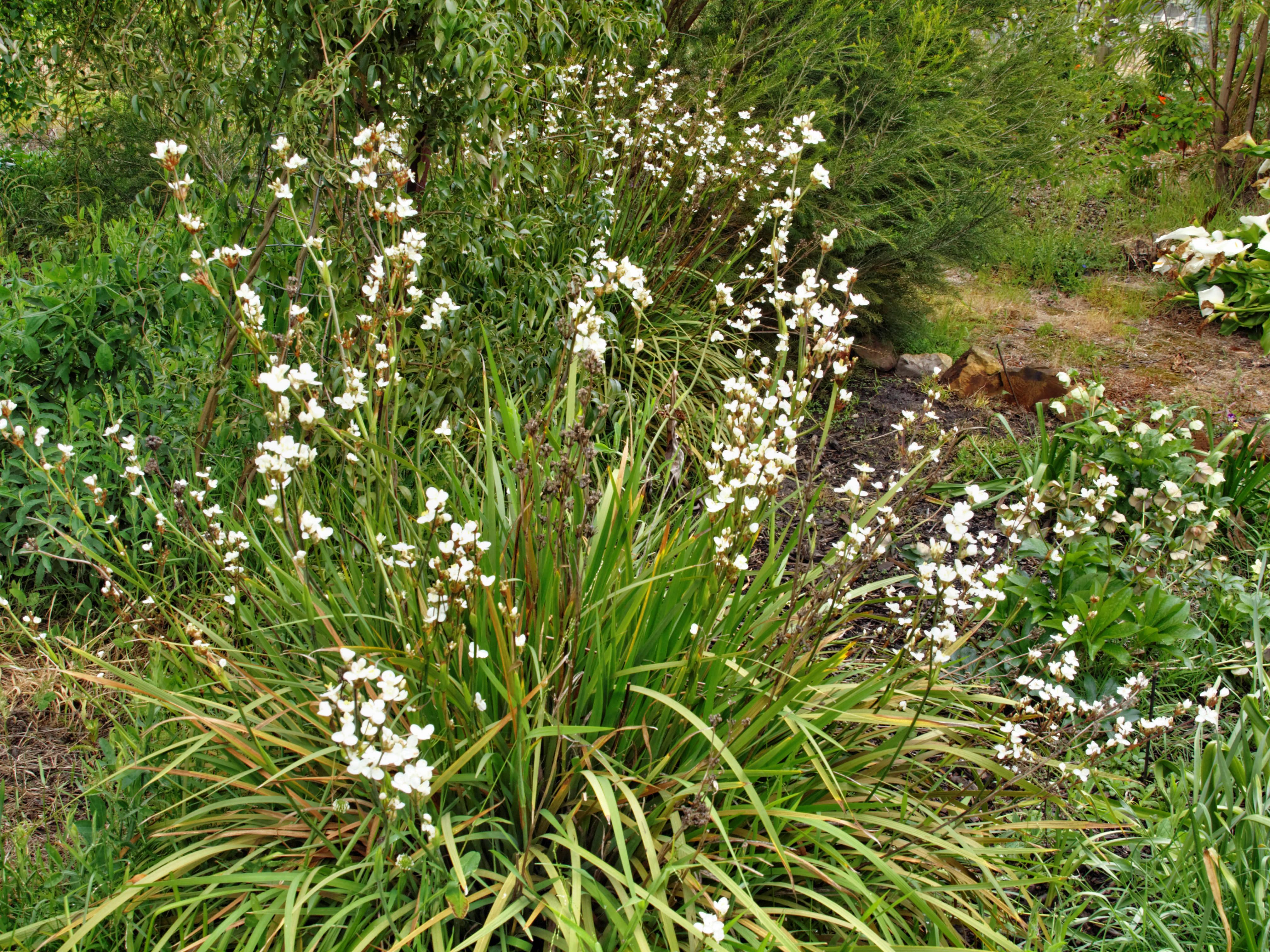 Libertia-grandiflora-1.jpeg