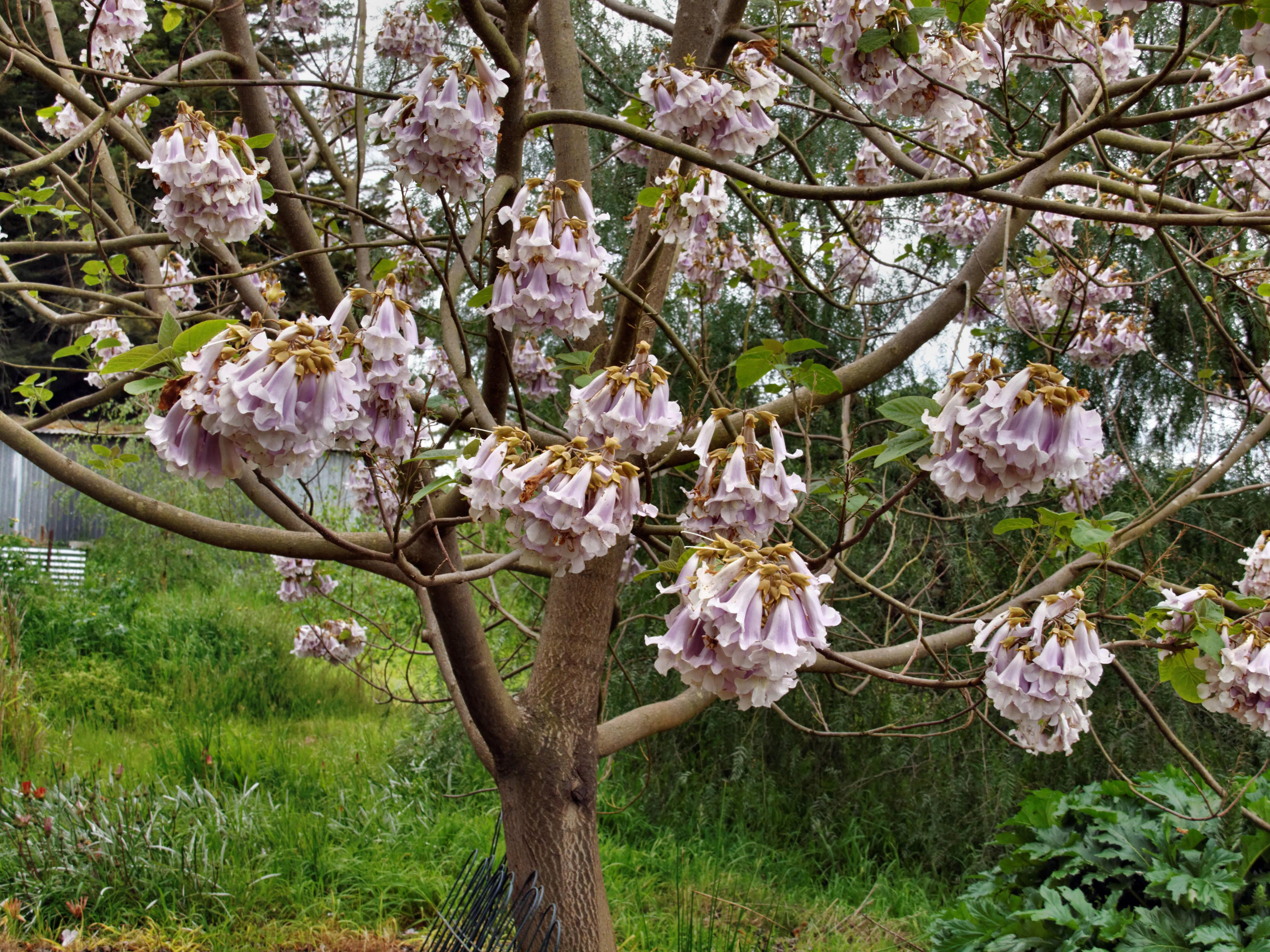 This should be Paulownia-1.jpeg.  Is it missing?