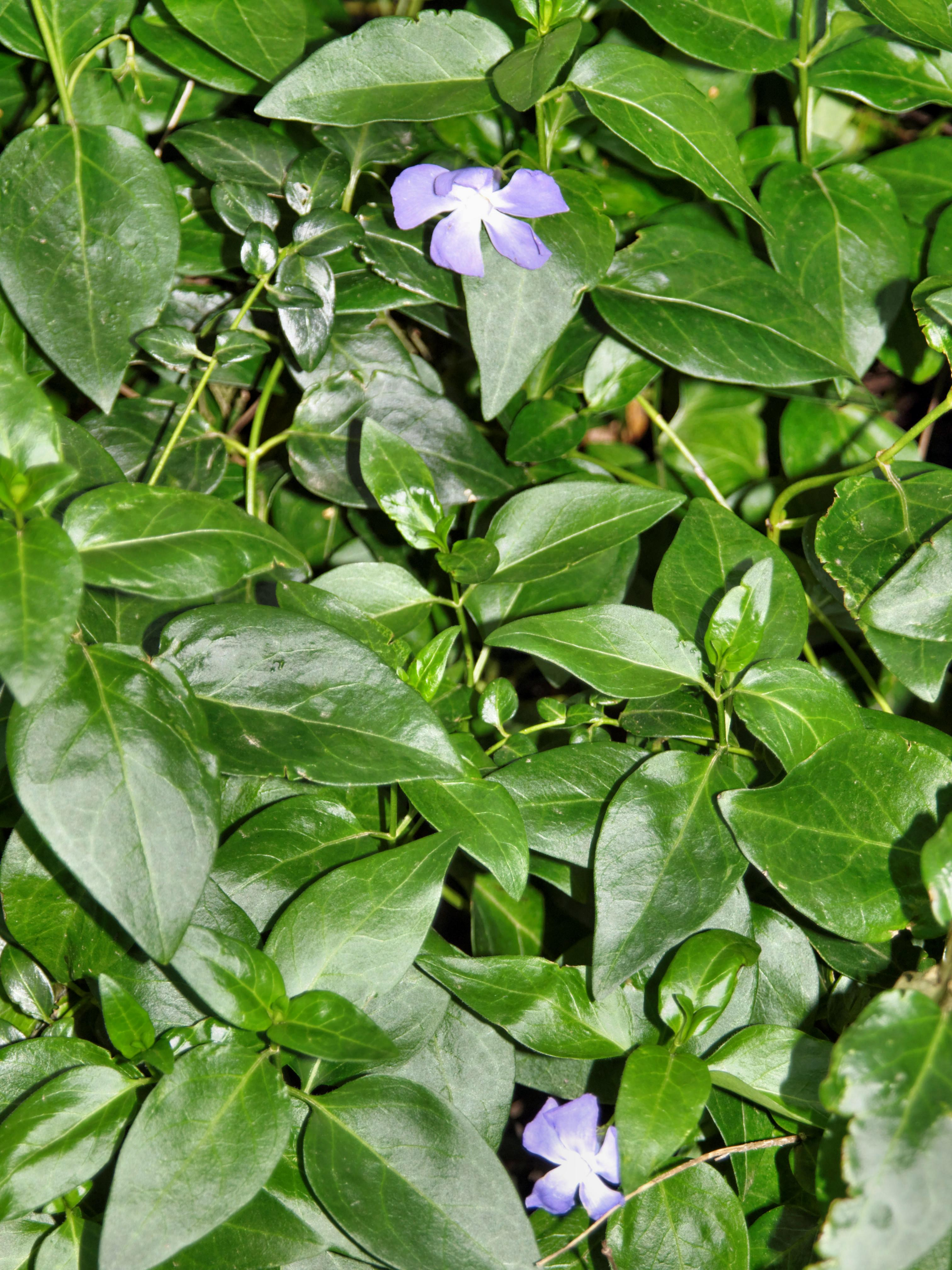 This should be Vinca-minor.jpeg.  Is it missing?