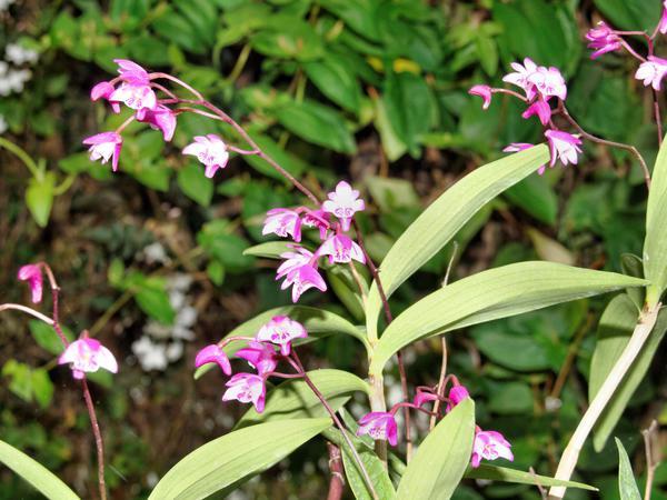 Dendrobium.jpeg