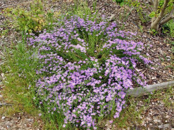 Felicia-angustifolia-1.jpeg