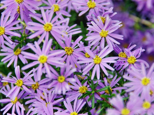 Felicia-angustifolia-2.jpeg