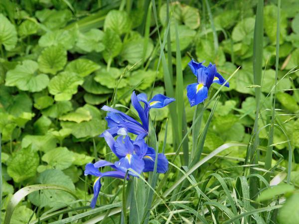 Iris-1.jpeg