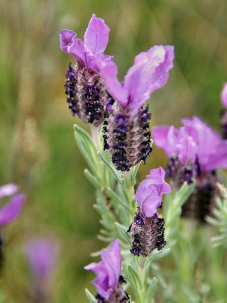 Lavender-3.jpeg