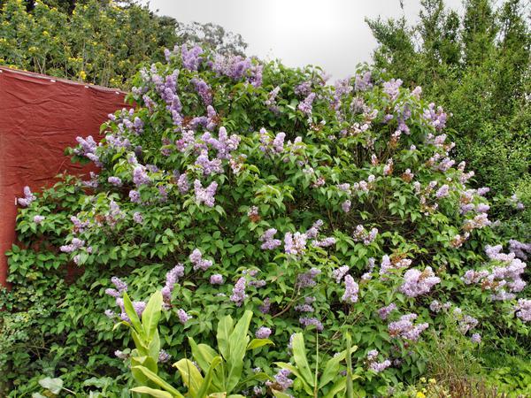 Lilac.jpeg