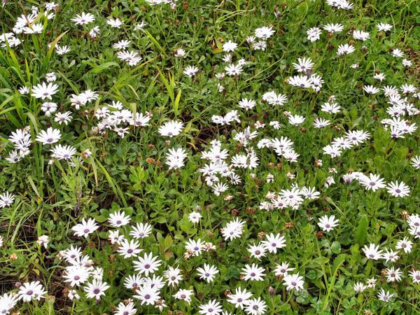 Osteospermum-1.jpeg