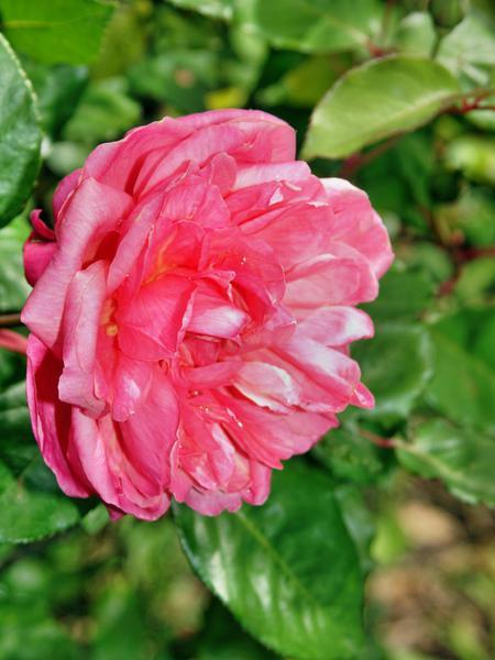 Rosa-Monsieur-Tillier.jpeg