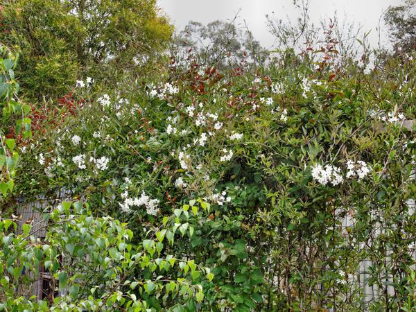 Solanum-laxum-5.jpeg