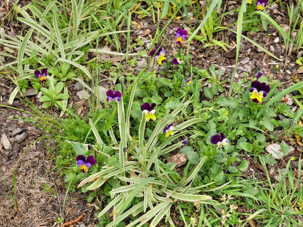 Viola-tricolor.jpeg