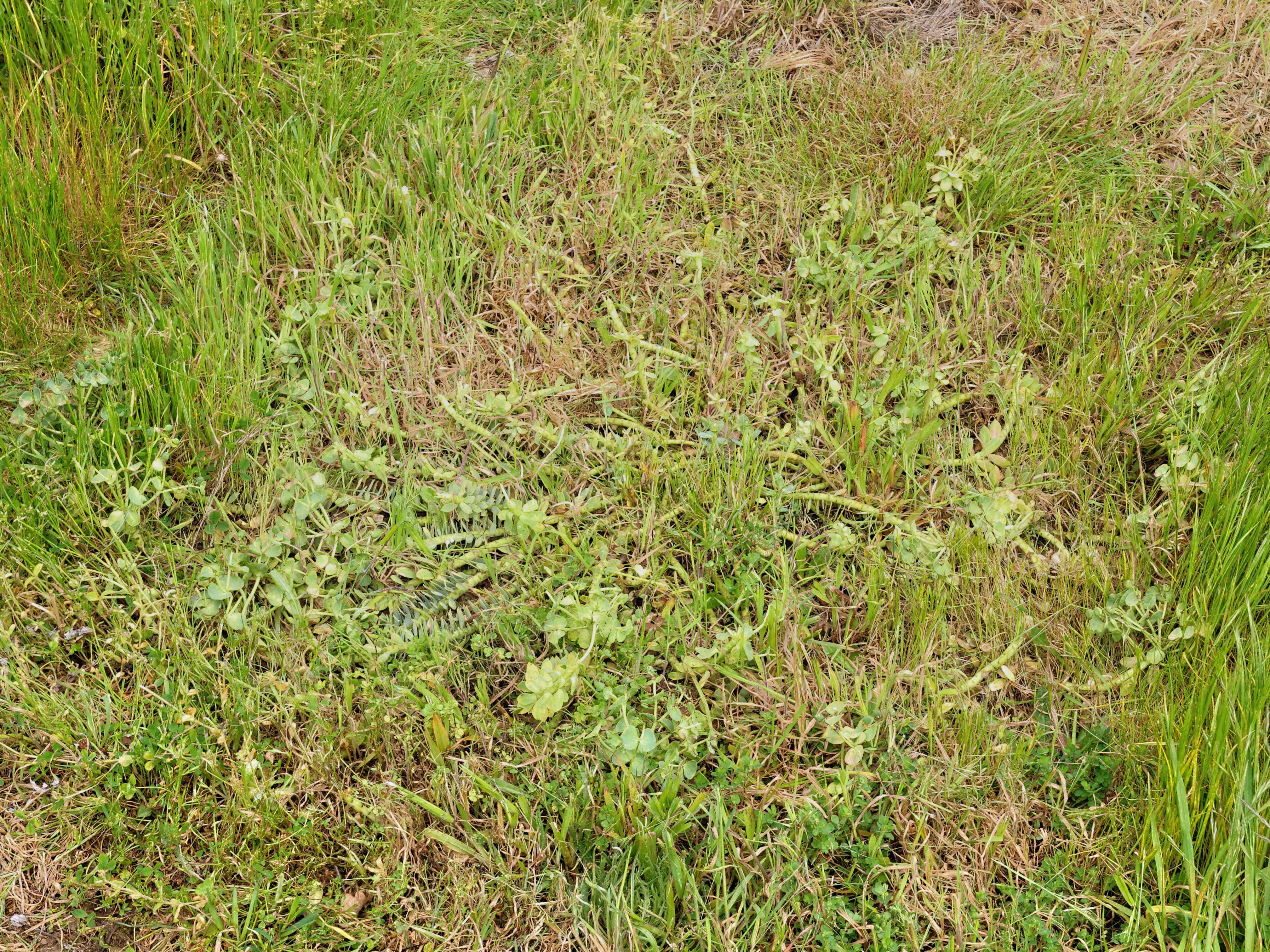 Euphorbia-1.jpeg