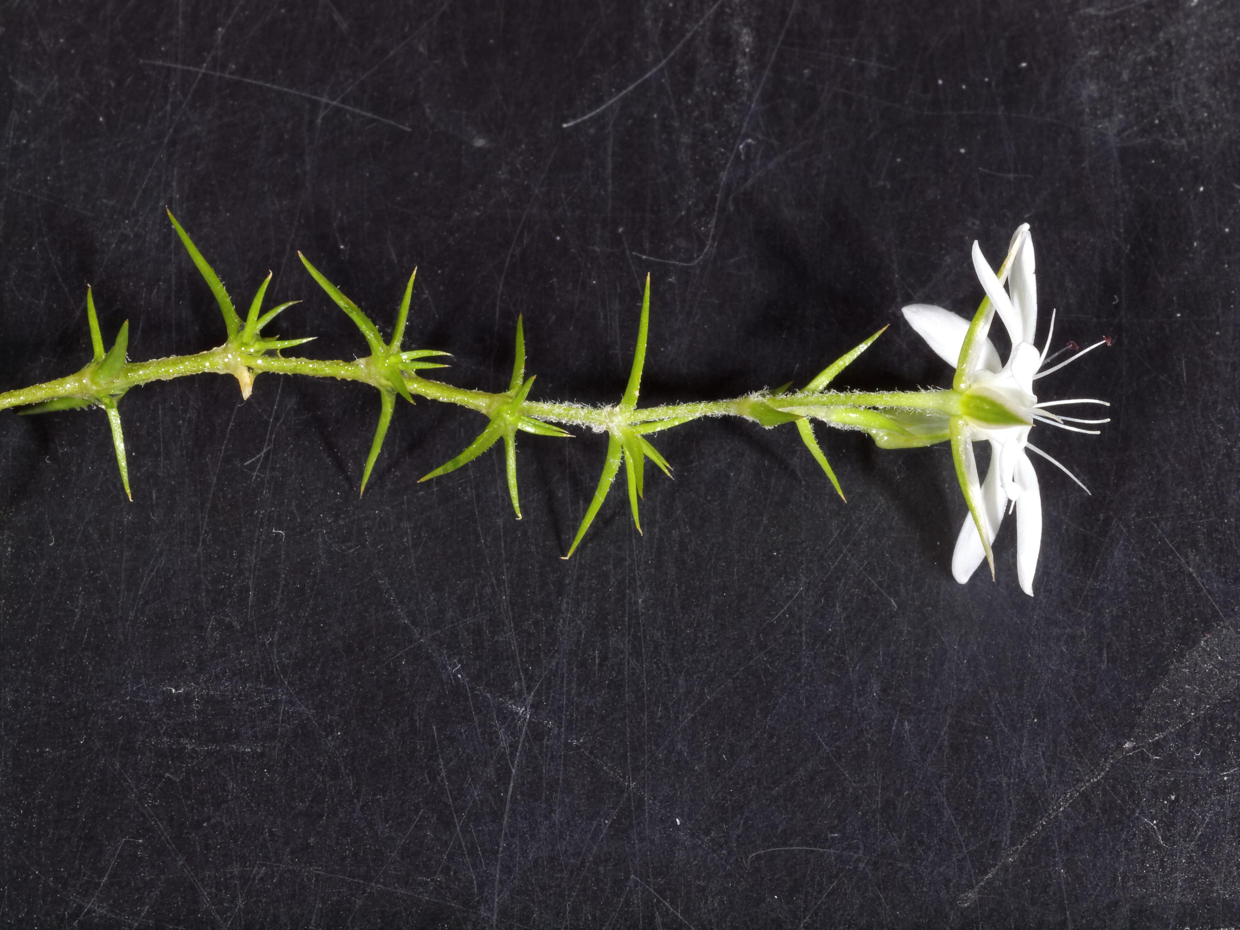thorn-flower-3.jpeg