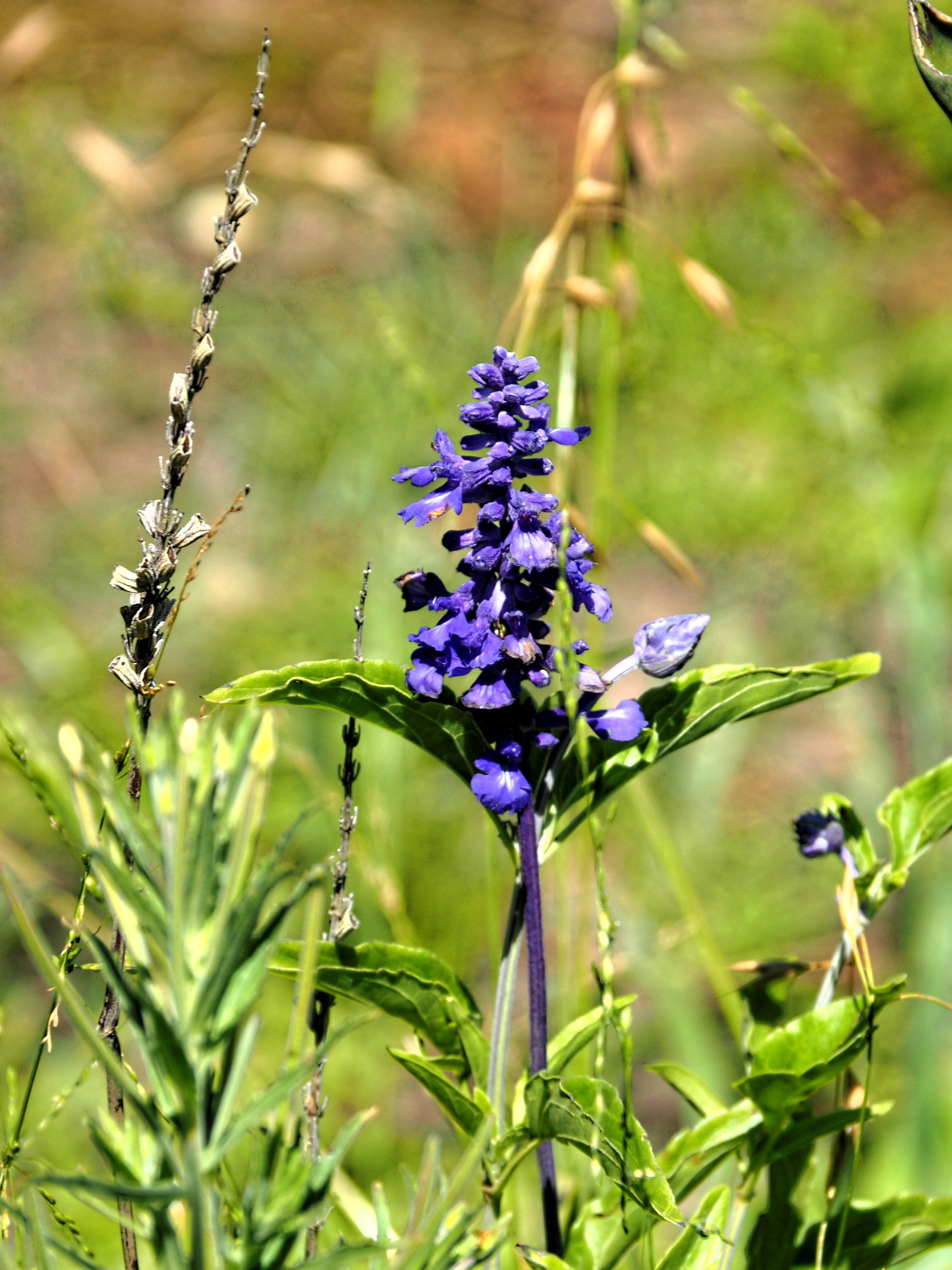 Salvia-1.jpeg