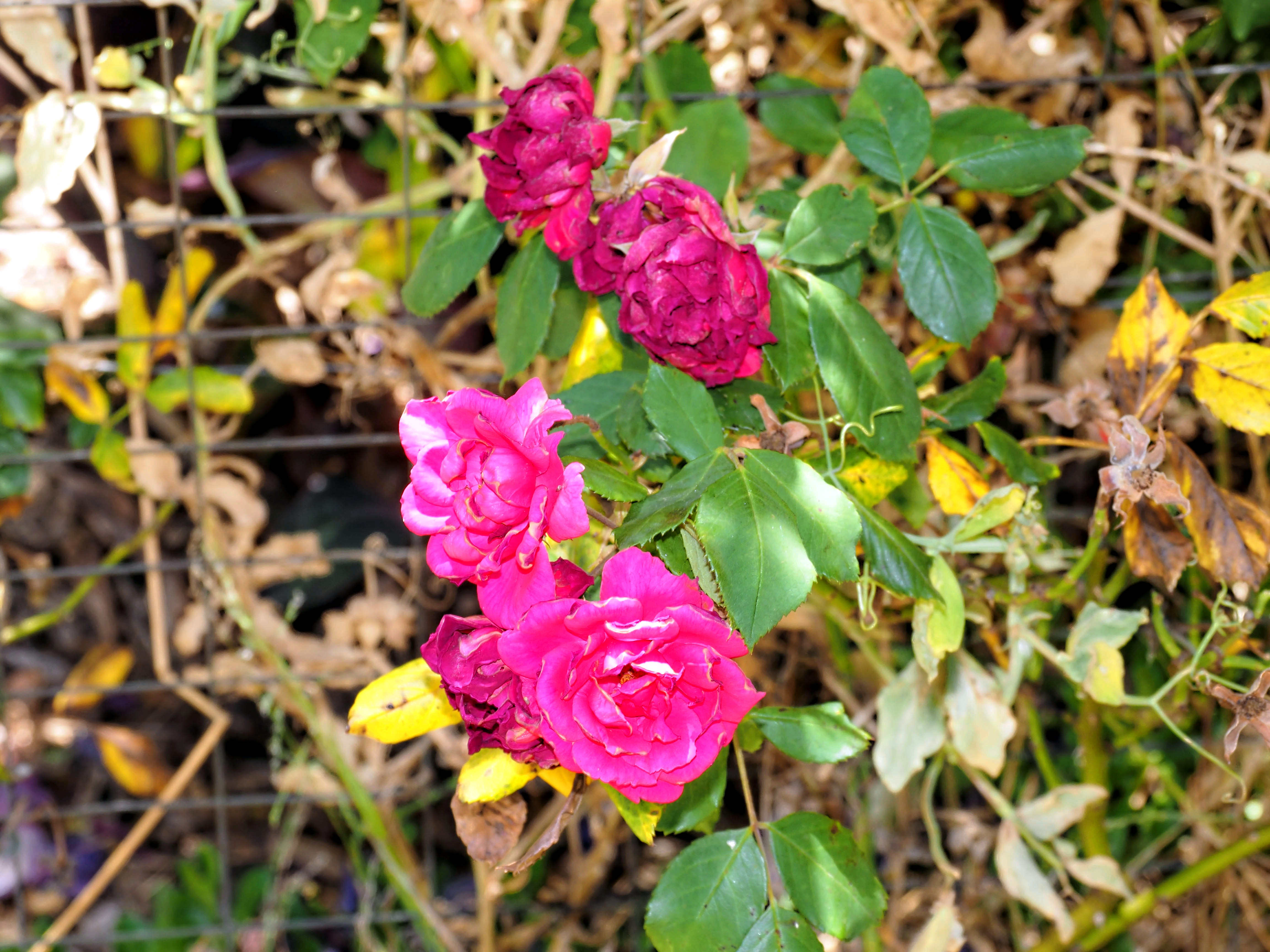 Rosa-2.jpeg