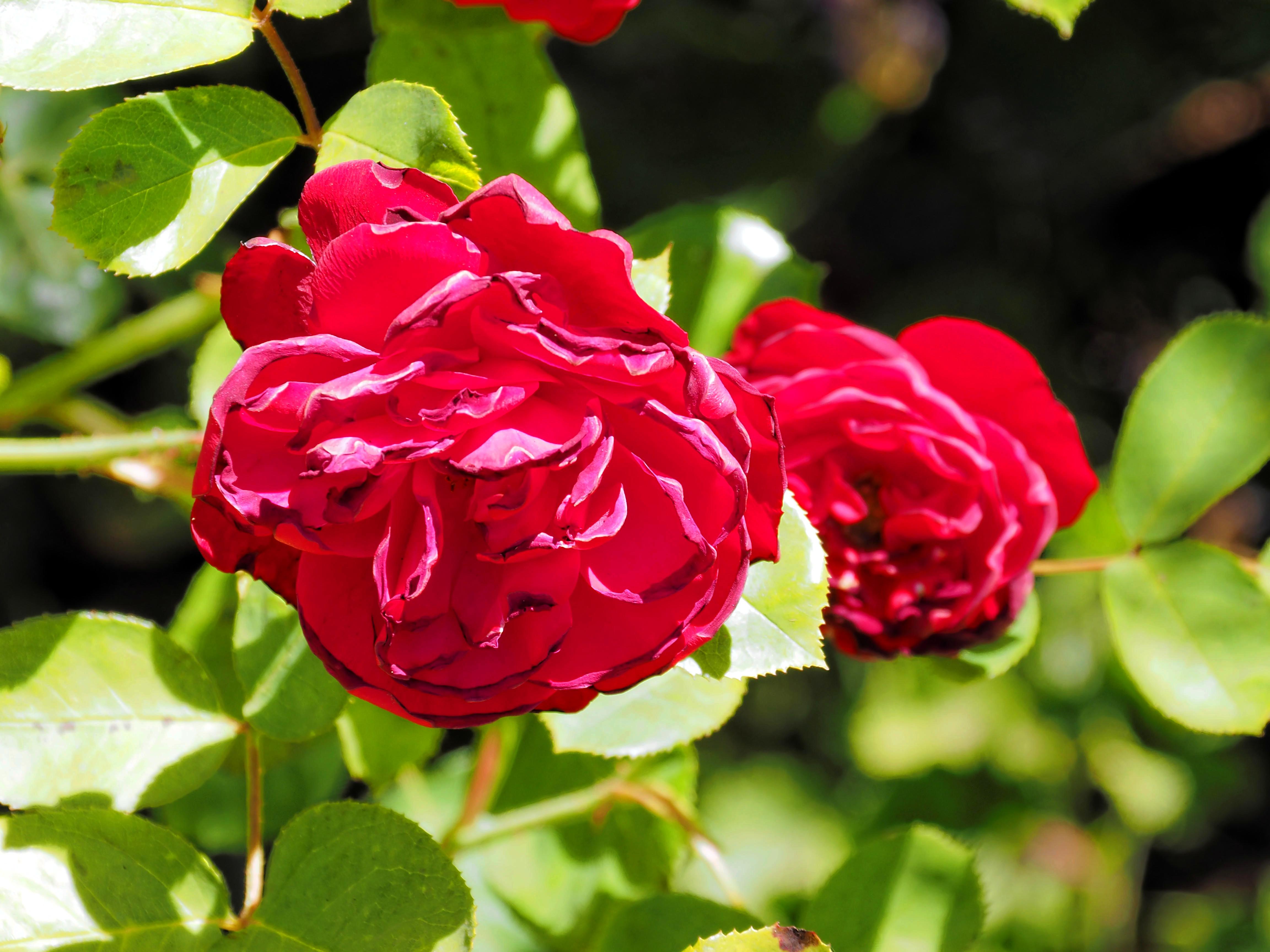 Rosa-6.jpeg