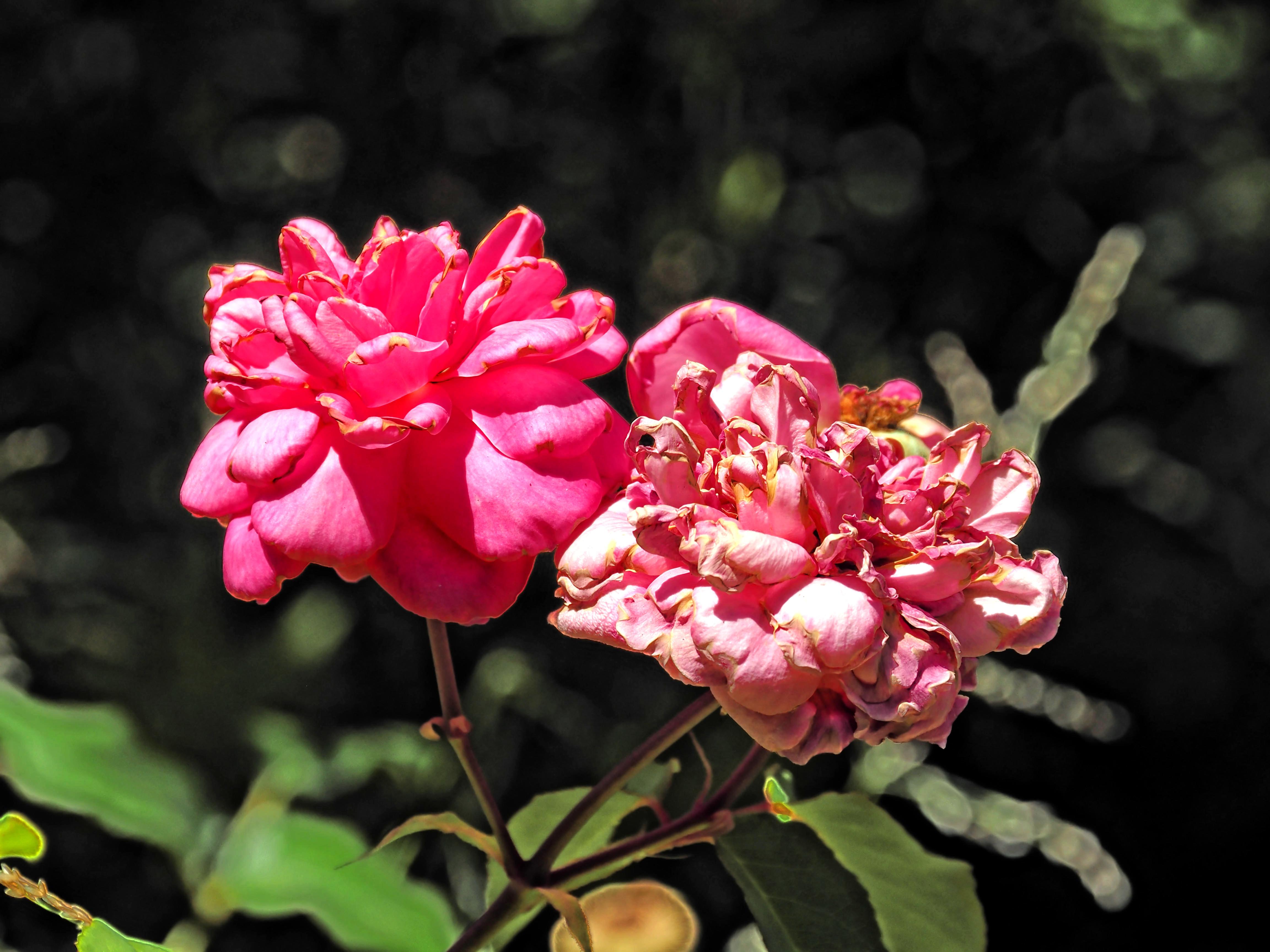 Rosa-7.jpeg