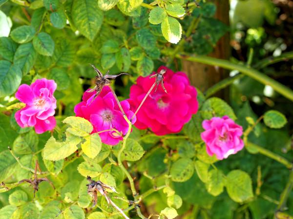 Rosa-4.jpeg