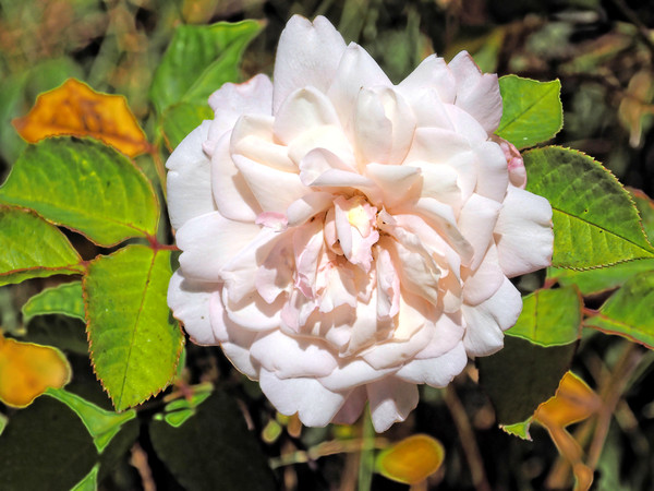 Rosa-5.jpeg